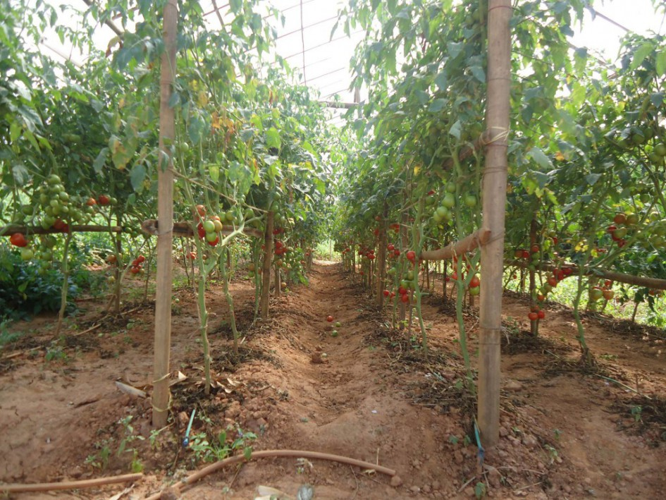 Result of the tomato cultivation in tunnel using drip irrigation system in Kanpur village.